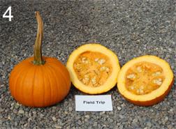 pumpkin cultivar 'Field Trip'