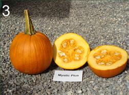 pumpkin cultivar 'Mystic Plus'