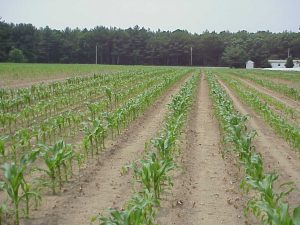 Corn Field at Whorl Stage