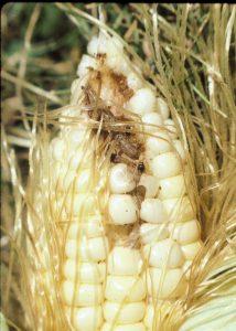 European Corn Borer Larva on Ear
