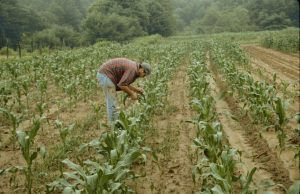 European Corn Borer Scouting