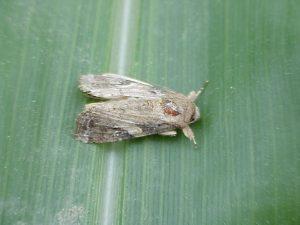 Male Fall Armyworm Moth
