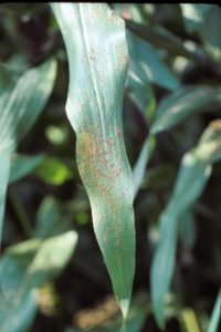 Rust on Corn