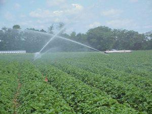 Strawberry Irrigation