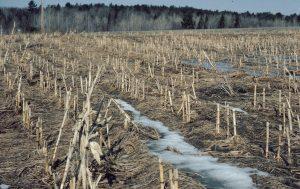 Unplowed Corn Field