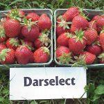 Darselect strawberries