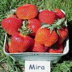 Mira strawberries