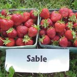 Sable strawberries