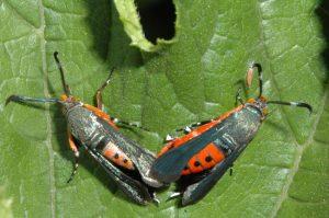 Two Squash Vine Borer Moths