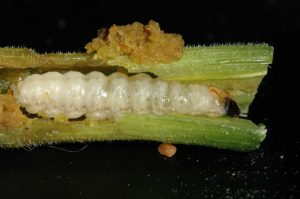 Squash Vine Borer Larva