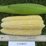 Cameo sweet corn