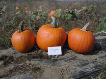 20 karat gold pumpkin