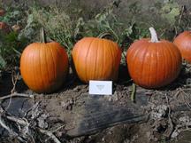 big rock pumpkin