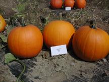 camaro pumpkin