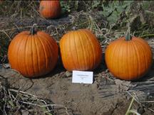 charisma PMR pumpkin
