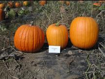 dependable pumpkin