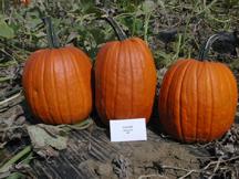 expert pumpkin