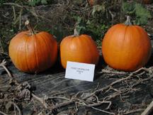 gold medallion pumpkin