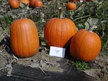 hannibal pumpkin