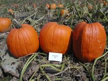 king midas pumpkin