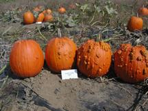 knuckle head pumpkin