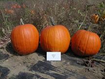 merlin pumpkin