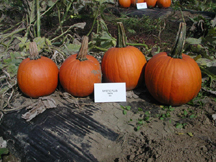 mystic plus pumpkin
