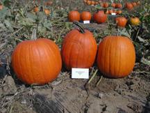 oktoberfest pumpkin