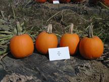 Oz pumpkin