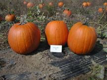 super herc pumpkin