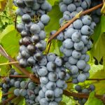 Bluebell grapes