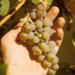 Candice grapes