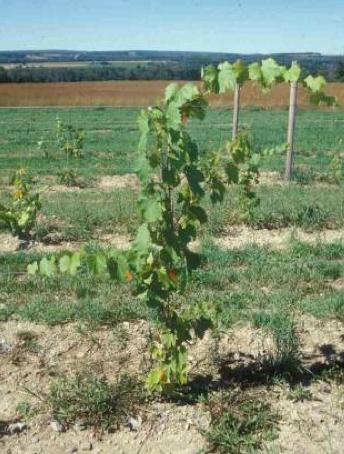 newly established grape vine