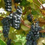 Fredonia grapes