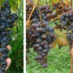 Frontenac Gris and Blanc grapes
