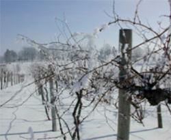 grape vines in winter
