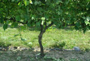 grape vine trunk