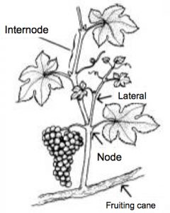 illustration showing internode, lateral, node, and fruiting cane