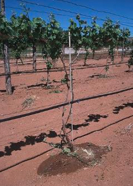 irrigated grapevines