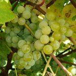 Kay Gray grapes