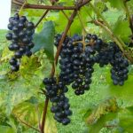 King of the North grapes