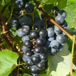 Lubrusca-type grapes