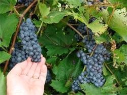 mature purple grapes on the vine