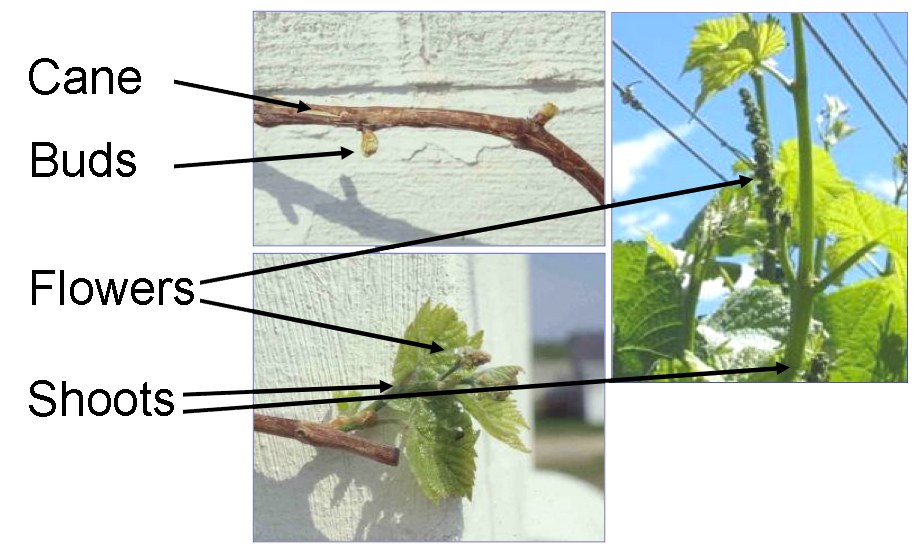 parts of the grape plant: cane, buds, flowers, shoots