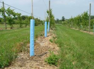 row of staked grape vines, using grow tubes