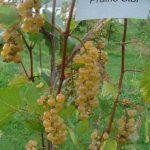 Prairie Star grapes