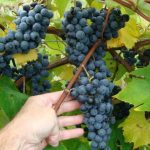 Sabrevois grapes