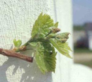 shoot on grape plant