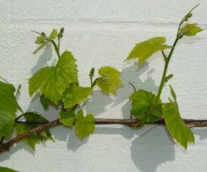 shoots on grape plant