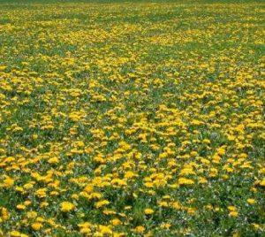 field of weeds